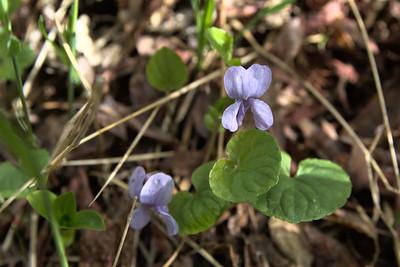 Dwarf marsh violet