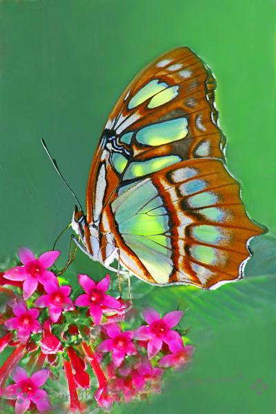 Malachite Butterfly (2).jpg