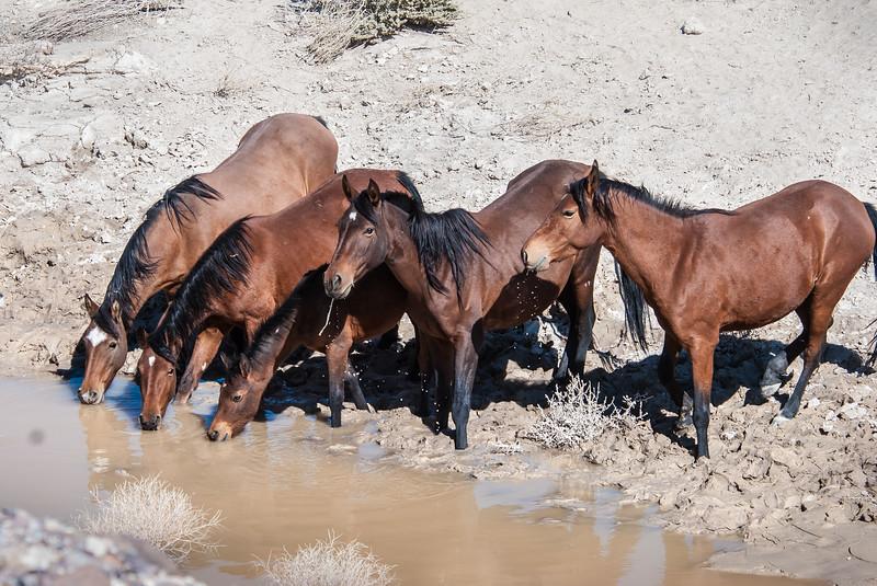 Wild Horses Drinking Nr Rt 6 #1