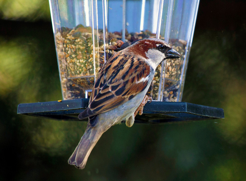 A sparrow at the feeder