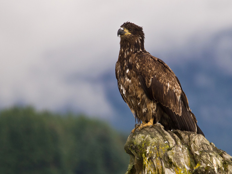 A juvenile bald eagle sits on a log in the Mendenhall wetlands.