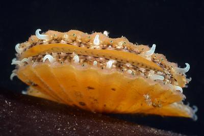 Mollusca: Gastropoda, Bivalvia, Polyplacophora