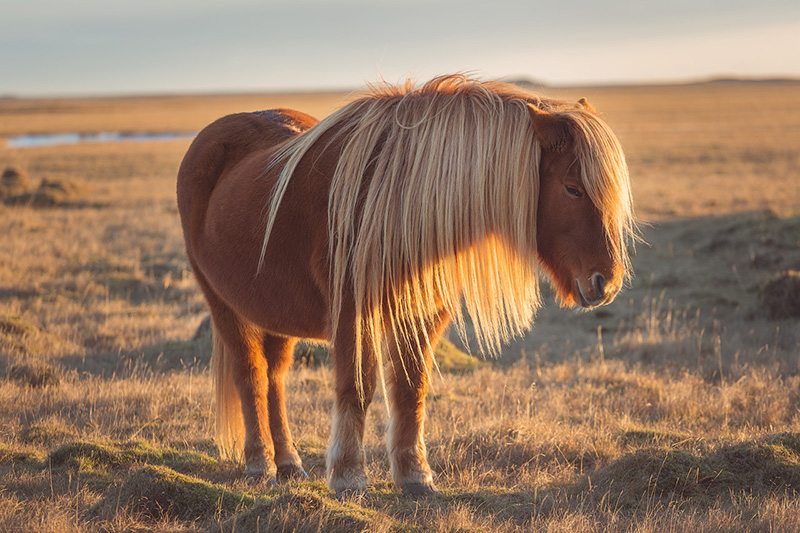 icelandic-horse.jpg