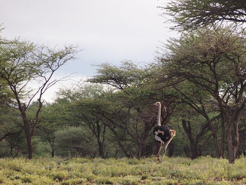 P3281155-ostrich-running-away.JPG