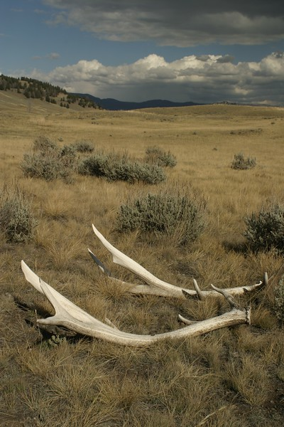 The ultimate animal sign; Elk antlers shed last fall. But leave them there; All animal parts are protected in national parks [September; Yellowstone National Park, Wyoming]