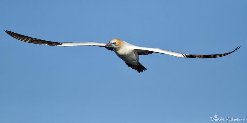 104-Australasian-Gannet-Wollongong-Pelagic-27713.jpg