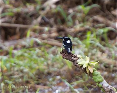 Southern Silvery Kingfisher