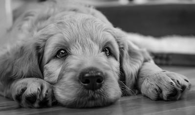 Puppy shoot - Boe