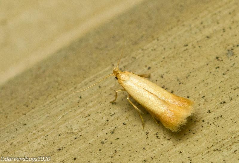 Trumpet leafminer moth, Coptotriche citrinipennella (Tischeriidae).