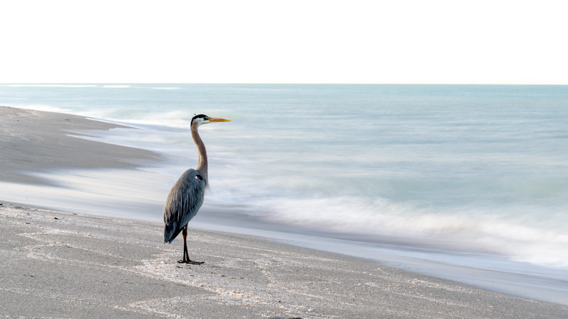 Great Blue Looking out at Sea