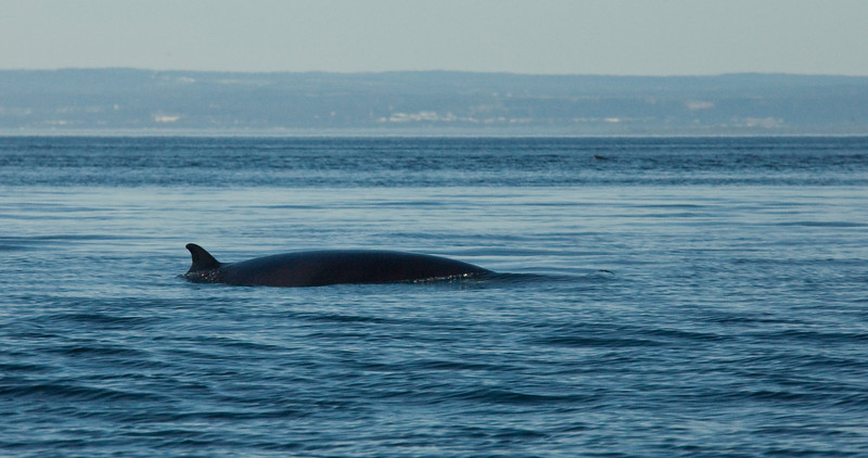 2011 quebec whale watching (8 of 80).jpg