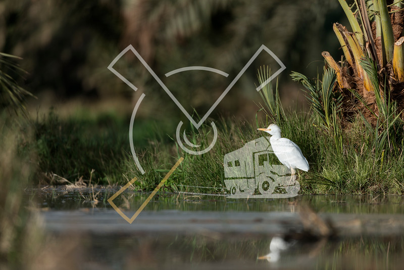 Cattle egret in the Oasis of Bahariya