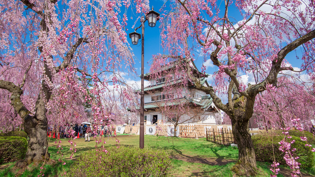 Hirosaki Castle Between Two Pink Cherry Blossom Trees