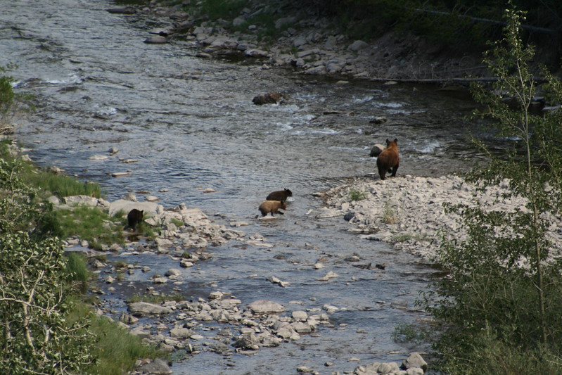 20110828 - 079 - GNP - Sow And 3 Bear Cubs Along Road By Many Glacier Hotel.JPG