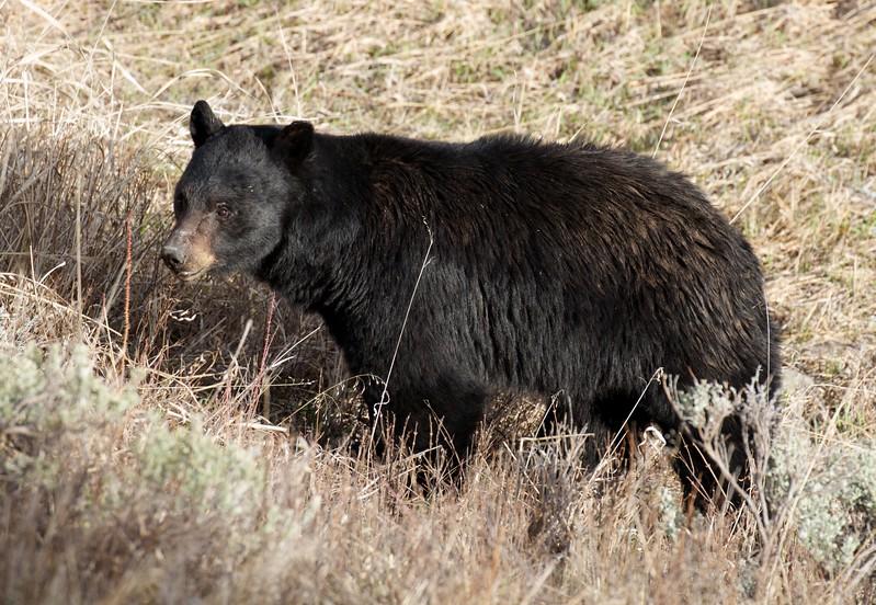 Black Bear Yellowstone National Park WY IMG_4826.jpg