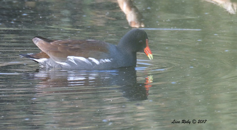 Common Gallinule - 12/24/2017 - Saturn Ave, Imperial Beach