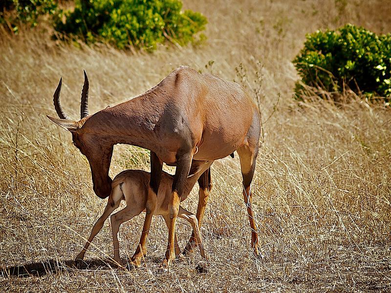 Masai Mara er full av kontraster. Det ene øyeblikket en drept gnu, det neste en impala som viser omsorg kjeet sitt. . Masai Mara, oktober 2006. *** The savanna is full of contrasts. One moment a dead Wildebeast. the next the loving care of a Hartebeast mother to its kid. Masai Mara, October 2006. (Foto: Geir)