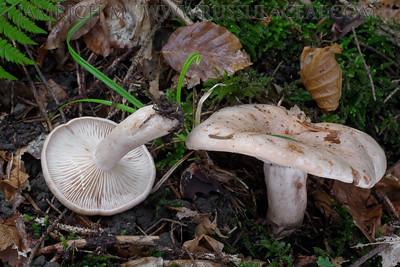 25.09.2015 – Lactarius pallidus