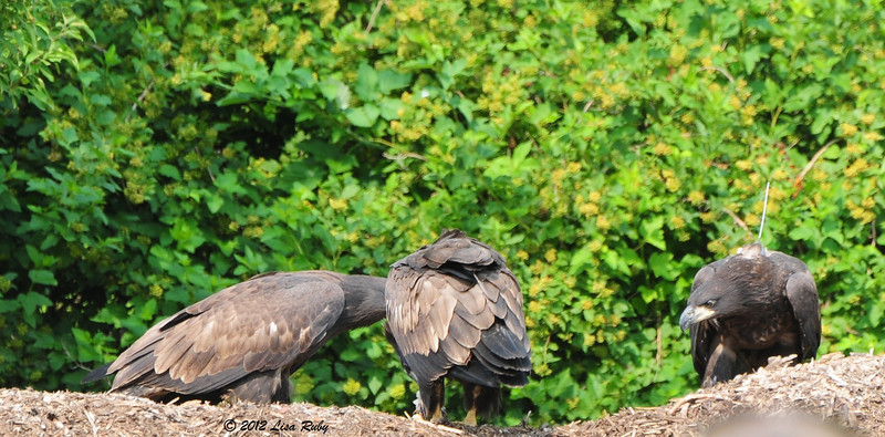 All three fledglings. This was taken on the grounds of a fish hatchery that is across the street from the nest. When fish die at the hatchery they are often left on this mulch pile for the eagles.