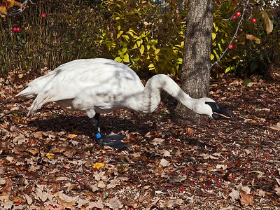Swans Eating Crab Apples Part 2