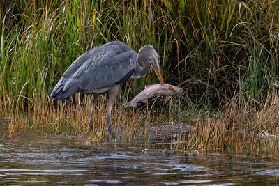 Fishing Heron (Sept 28 Madison River))