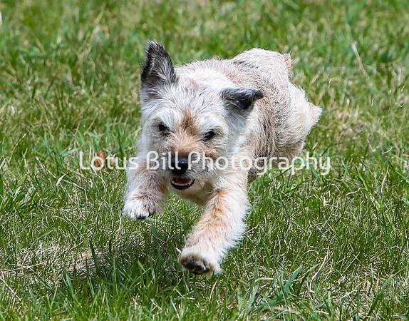 Border Terrier DH