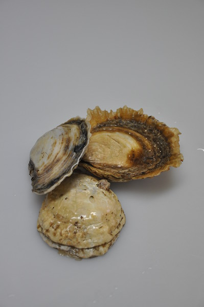 Close up of native flat oysters