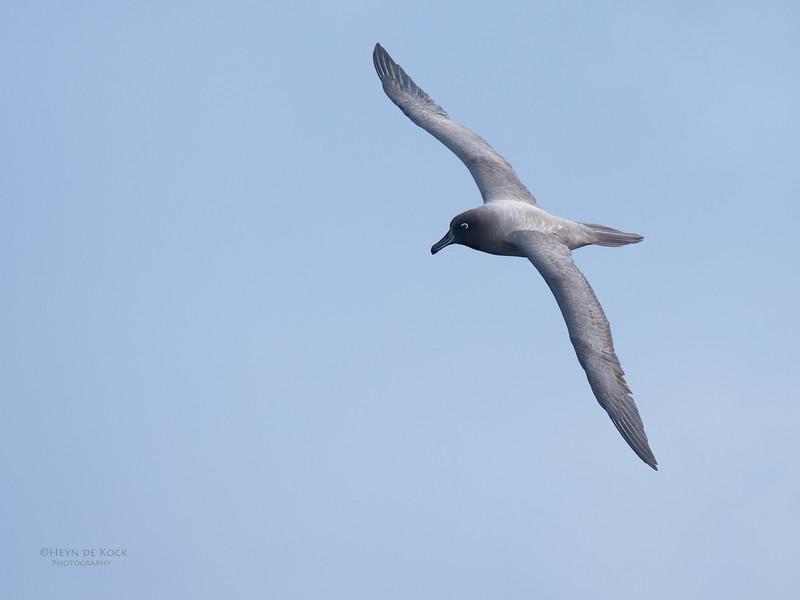 Light-mantled Sooty Albatross, Eaglehawk Neck Pelagic, TAS, May 2016-2.jpg