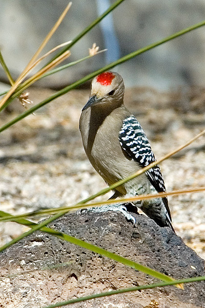 Woodpecker - Gila - Organ Pipe National Monument - AZ