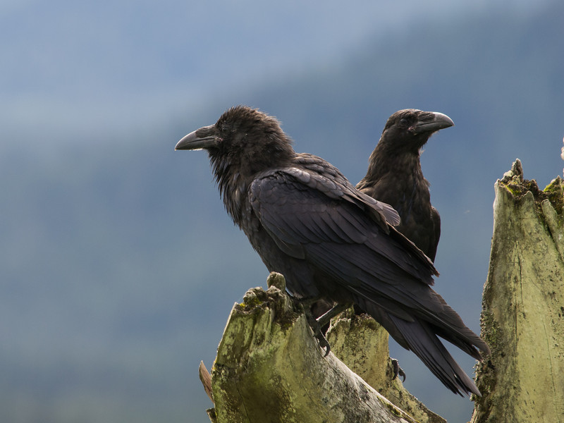 Two ravens at the mendenhall game refuge.