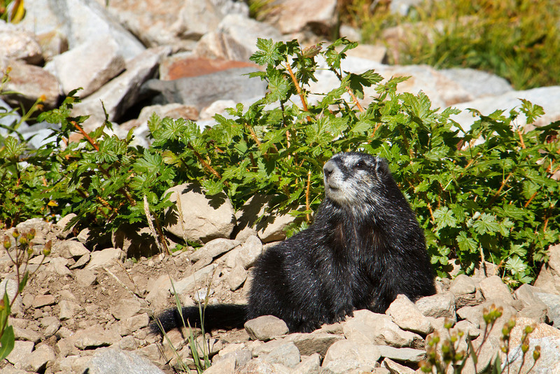 yellow-bellied marmot001.JPG