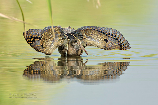 Painted Snipes - Family:Rostratulidae