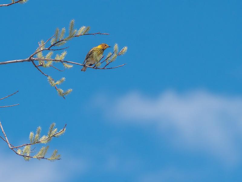 Cape May Warbler warbler wave Moose Lake Sewage Ponds road Carlton County MN  P1066745.jpg