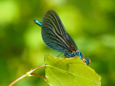 Agriidae