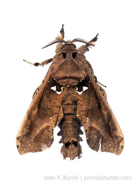 Cossid moth (Langsdorfia franckii) Tapiraí, São Paulo, Brazil Atlantic forest (rainforest strictu sensu) January 2017
