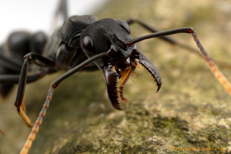 Neoponera apicalis
