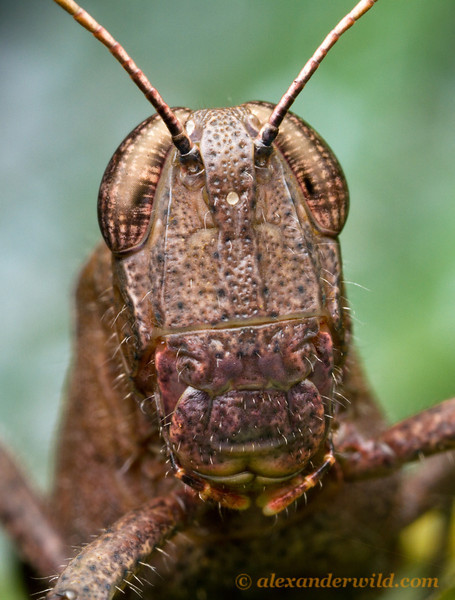 Portrait of a Belizean grasshopper, photographed at night at Caves Branch Lodge. The BugShot workshop will explain how to compose & light this type of image.