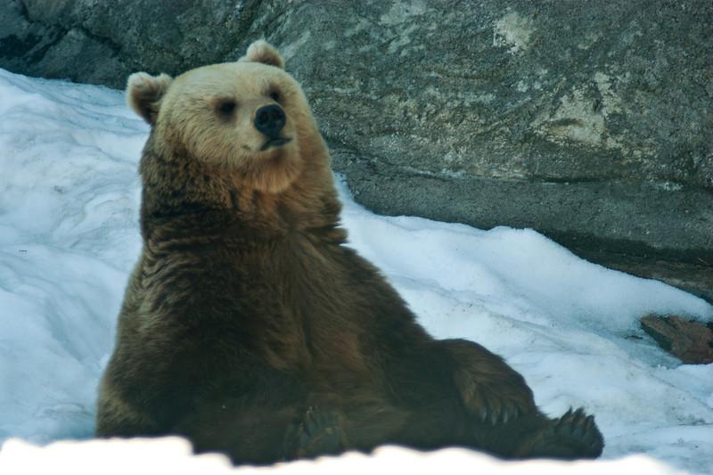 Brown Bear - Ruskeakarhu - Ursus arctos  Meditation - Meditointi