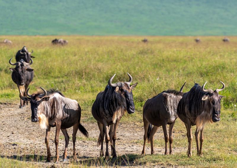 wildebeest-107_0216_2578.jpg