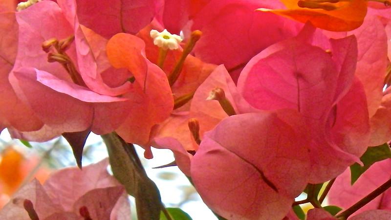 Sweet Bougainvillea