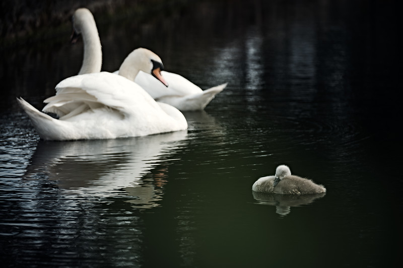 Swans_Of_Castletown019.jpg