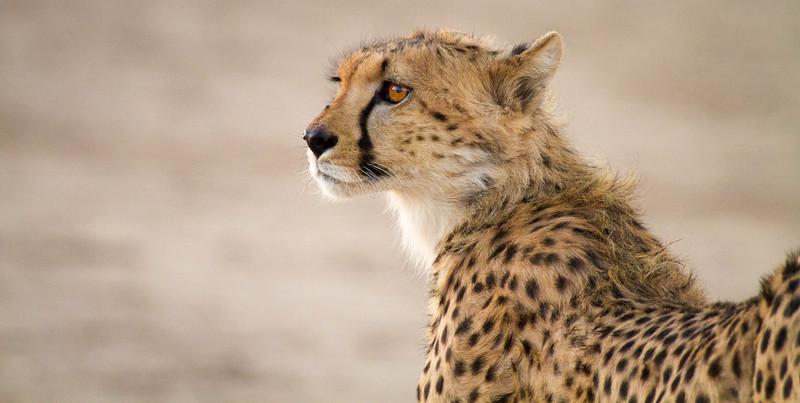 Cheetah at dawn, Kalahari Desert