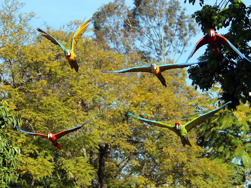 macaws 2.jpg