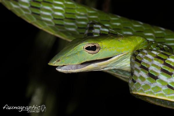 Indo-Australian Wildlife Watch