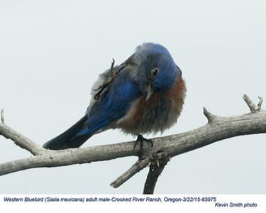 Western Bluebird M65975.jpg