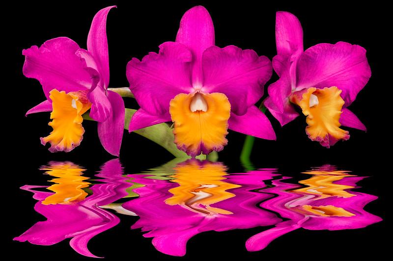 BLC BLC Makaha Gold x walkeriana  SLC Wendy's Valentine (Fragrant bubble gum pink, yellow center)