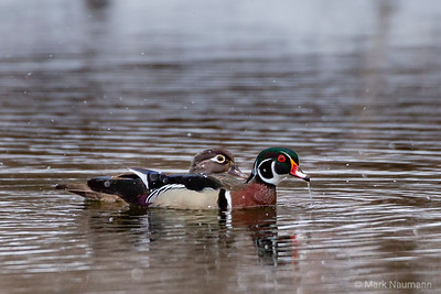 Waterfowl of Spring