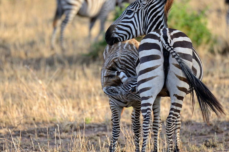 Zebra-suckling.jpg