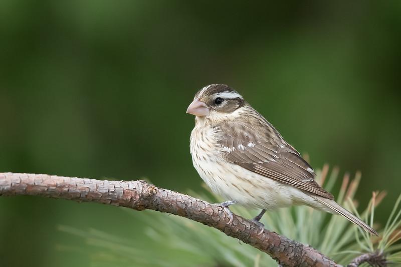 Rose-breasted Grosbeak - Female - Grayling, MI, USA