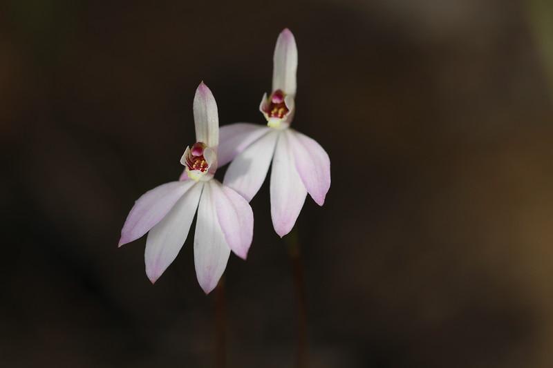 Caladenia carnea 7.JPG